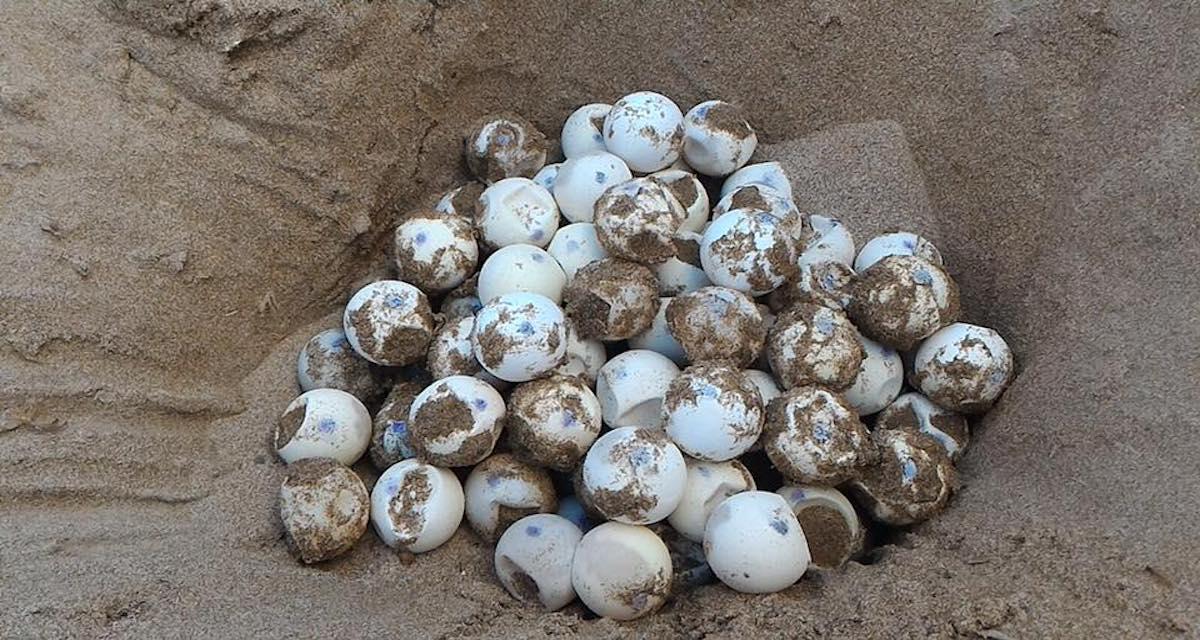 Ecco come intervenire quando trovate un nuovo nido di Tartaruga sulle spiagge
